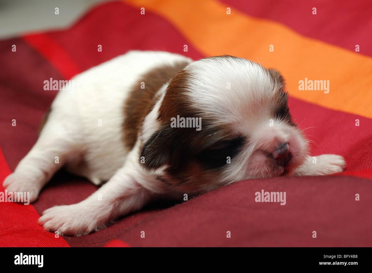 Shih-tzu dog puppy seven days old sleeping - Stock Image