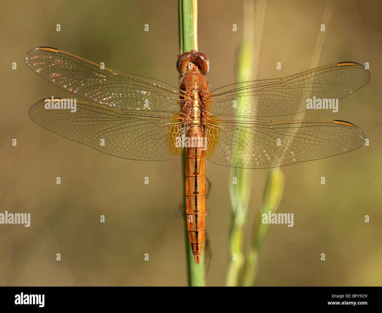 wings of golden dragonfly at Kanha, India perched on upright stem of reed glitters and gleams in bright sunshine - Stock Image