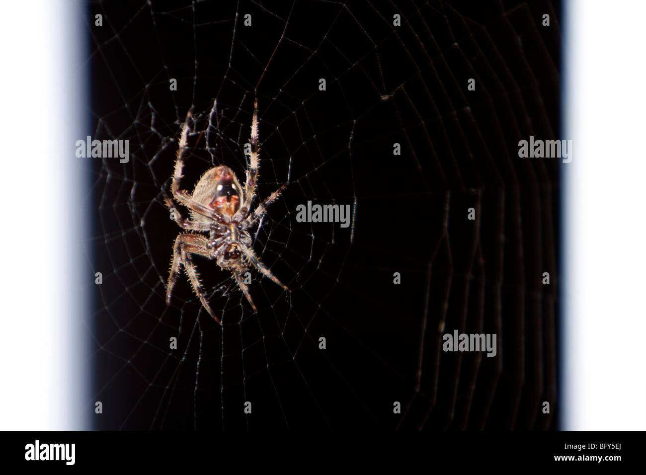 A very large barn spider (Araneus cavaticus) at night. - Stock Image