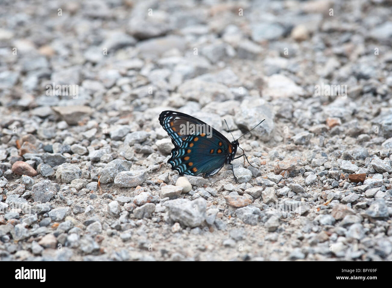 Red-spotted Purple butterfly resting in gravel - Stock Image