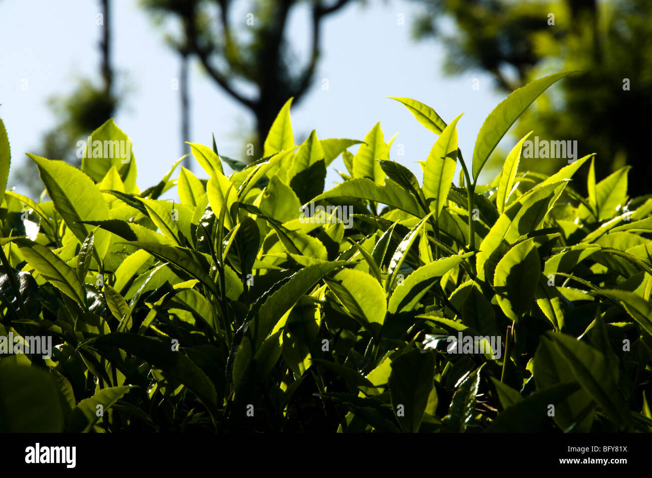 Tea leaves, close up in daylight, Munnar - Stock Image