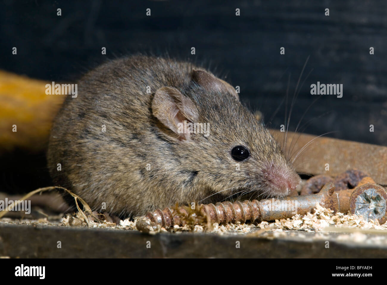 house mouse; Mus musculus; in shed - Stock Image
