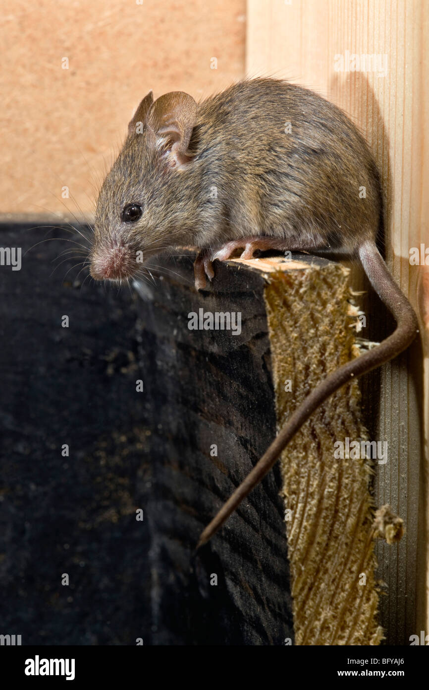 house mouse; Mus musculus; climbing Stock Photo