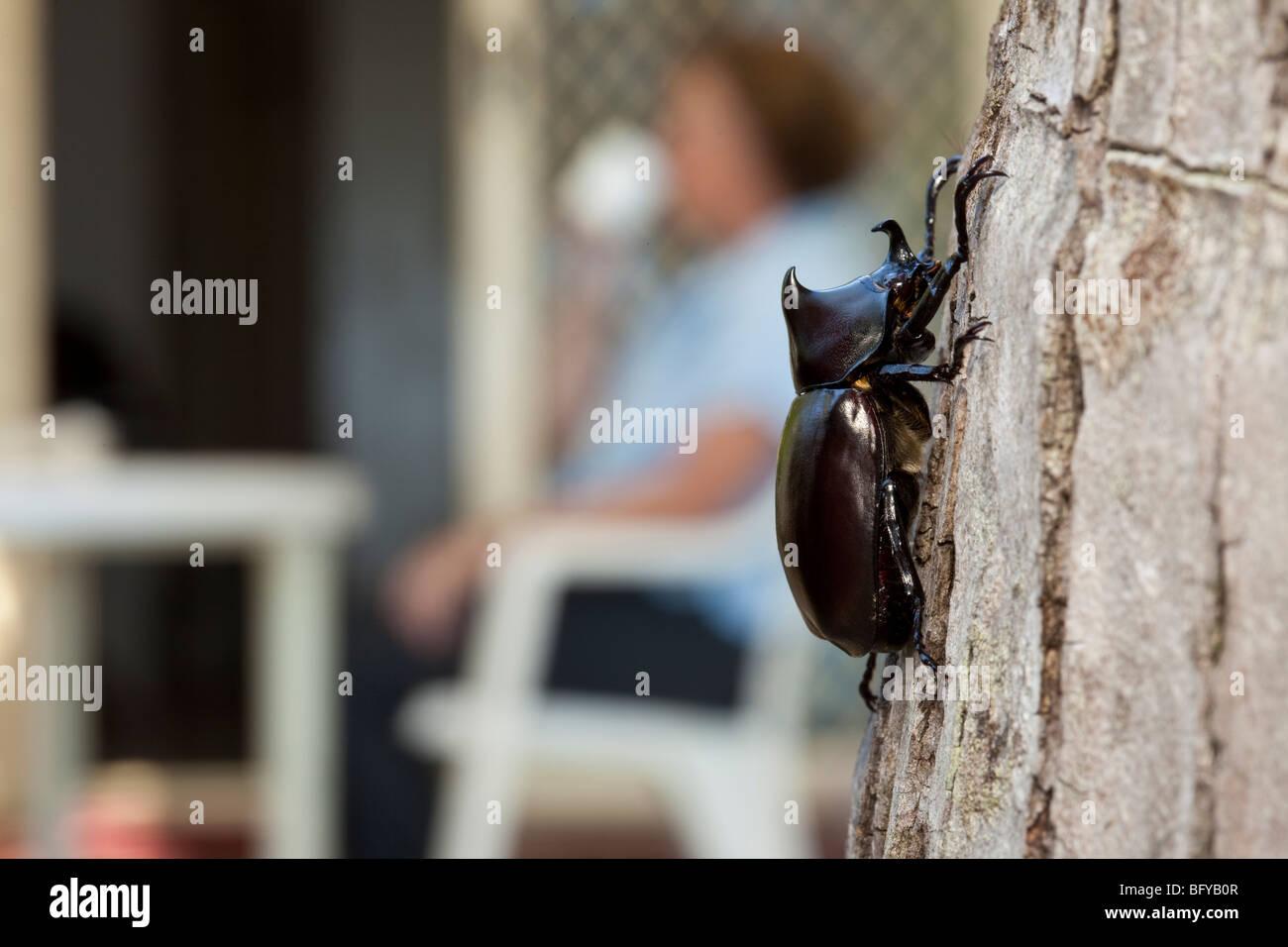 Rhinoceros Beetle, Xylotrupes gideon, Cairns, Queensland, Australia - Stock Image