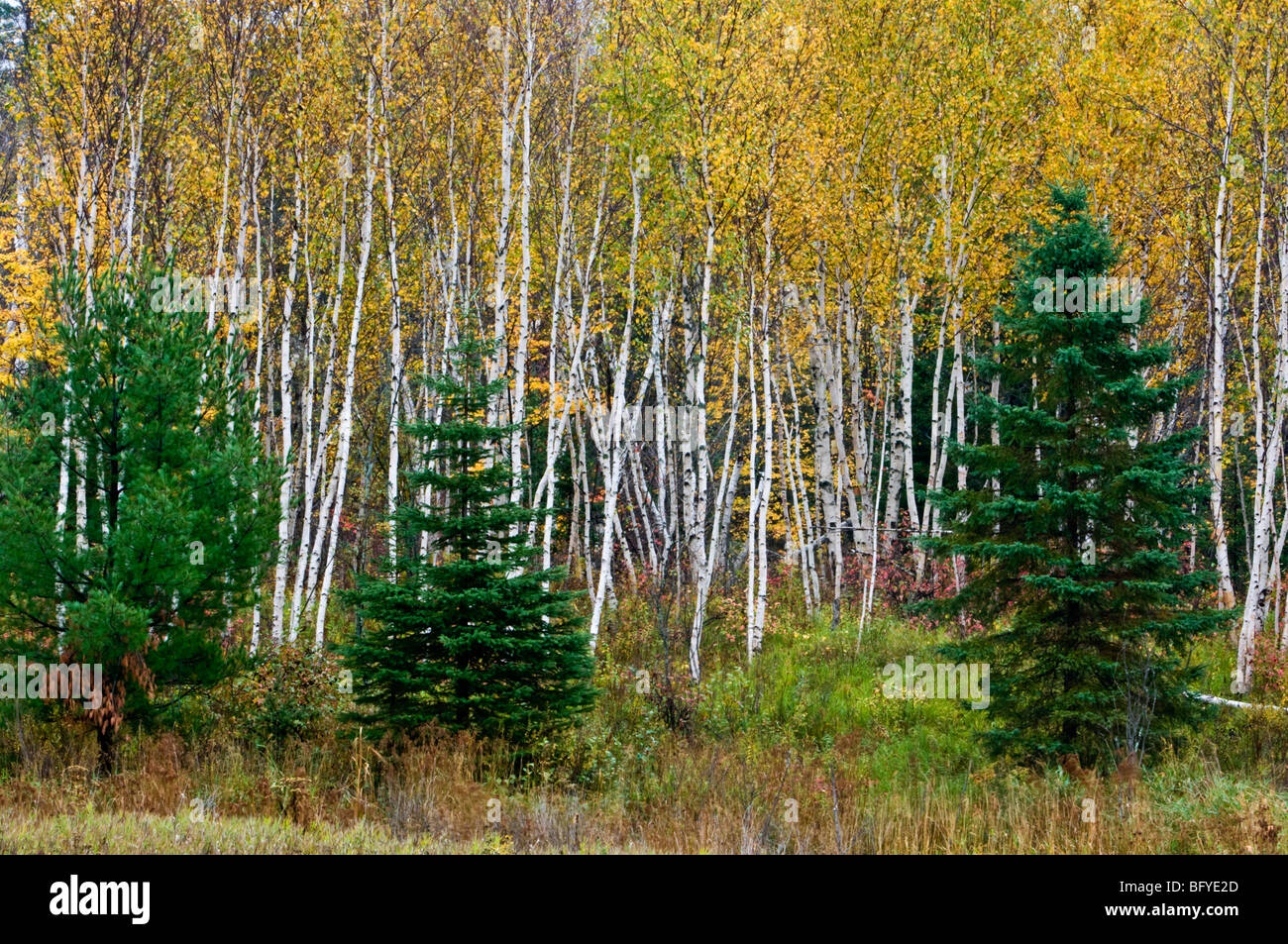 White birch grove and spruces in autumn, Greater Sudbury, Ontario, Canada - Stock Image