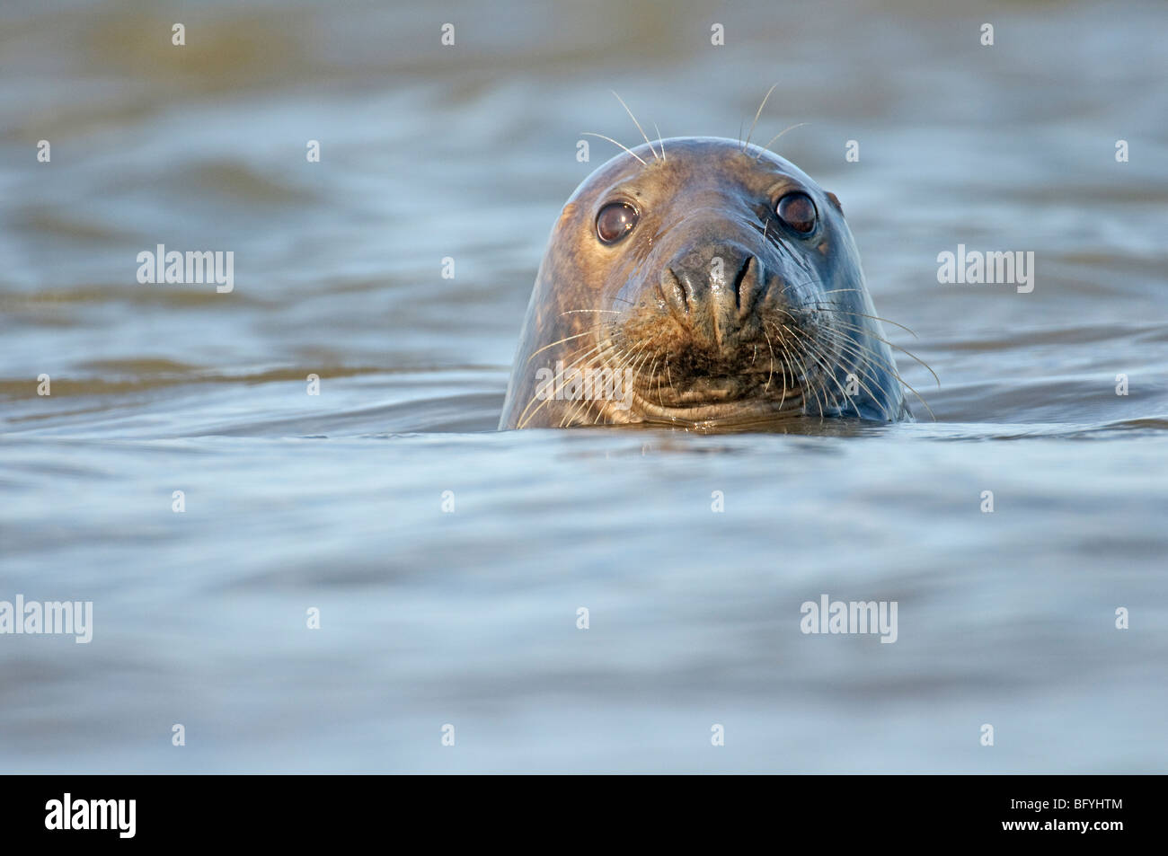 Atlantic grey seal Halichoerus grypus. Norfolk. Stock Photo
