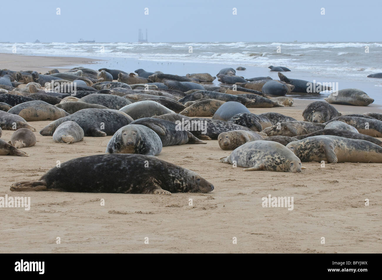 Atlantic grey seal Halichoerus grypus breeding colony on the Humber estuary at Donna Nook Lincolnshire. - Stock Image