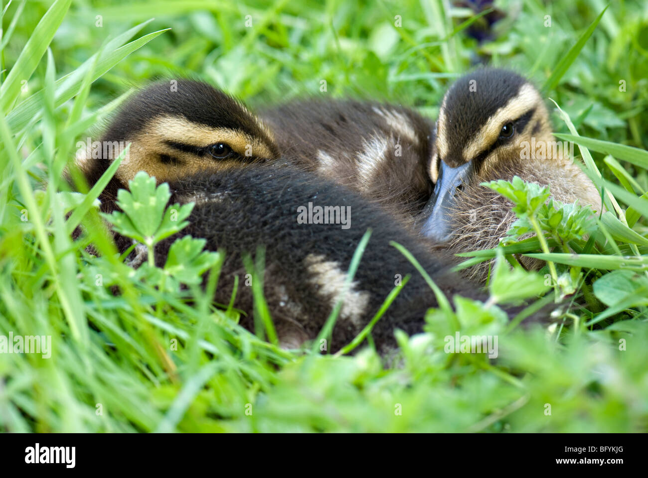 A close up shot of a pair of mallard ducklings resting together in grass - Stock Image