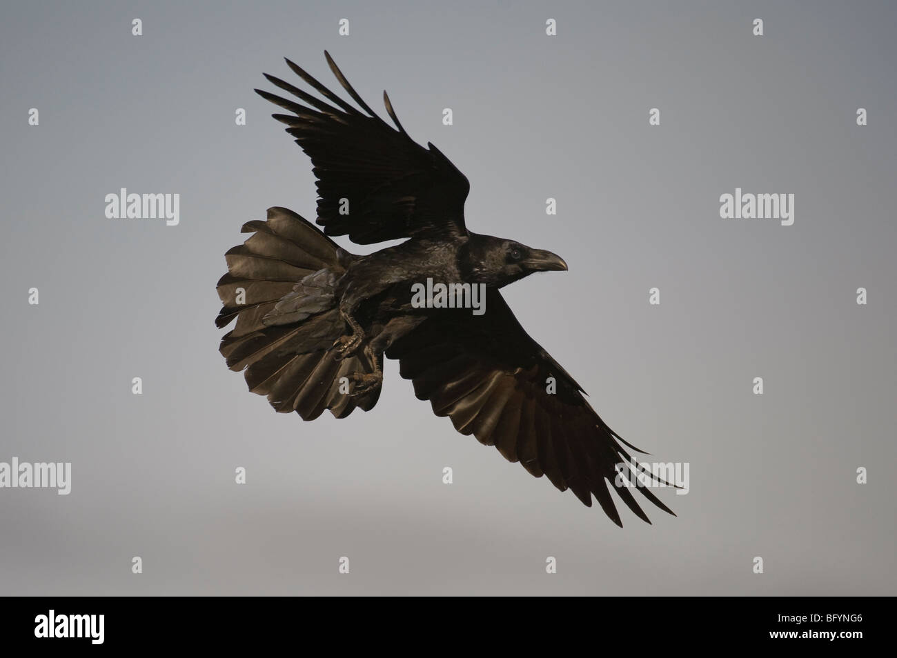 Common raven Corvus corax in flight. Catalonian Pyrenees, Spain. - Stock Image