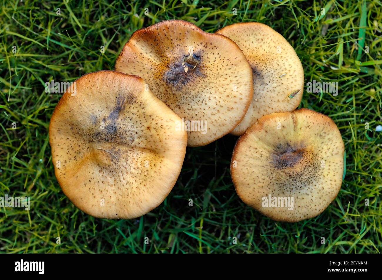 Brown fungi growing on grass in East Sussex, United Kingdom - Stock Image