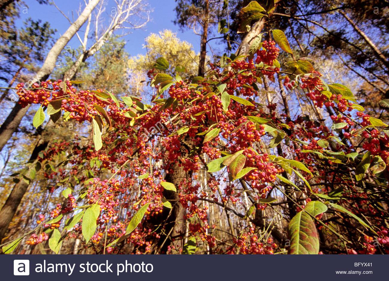 Spindelstrauch, Spindel tree - Stock Image