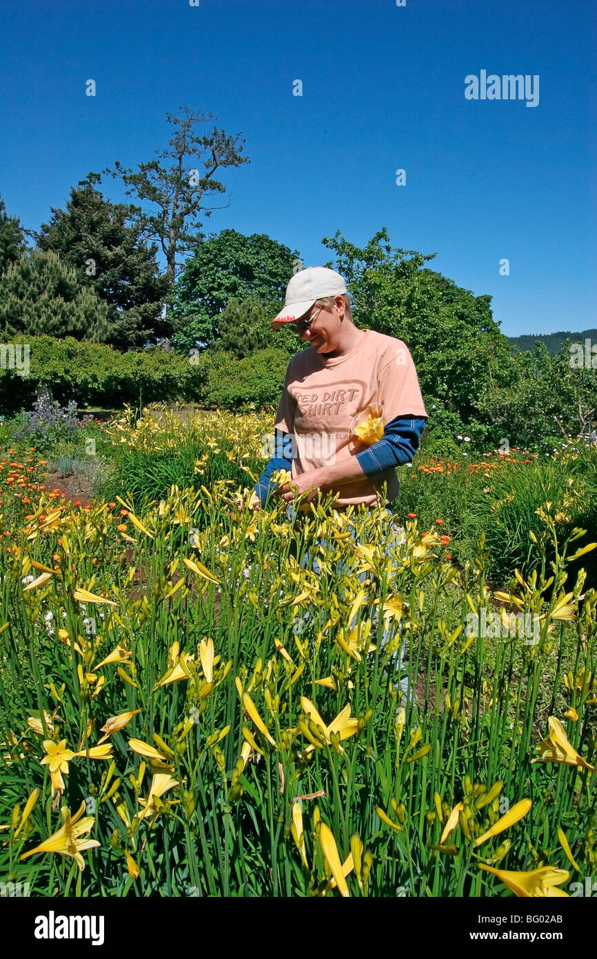 Gardener harvests day lillies for that night's dinner at the Sooke Harbour House, an upscale inn on Vancouver - Stock Image