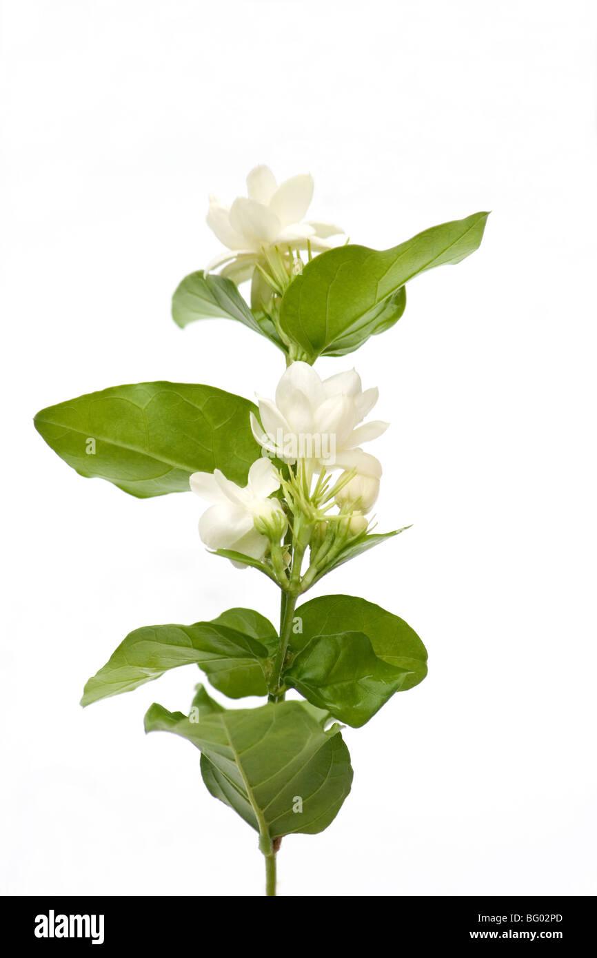 Arabian jasmine flowers on white background stock photo 27047061 arabian jasmine flowers on white background izmirmasajfo