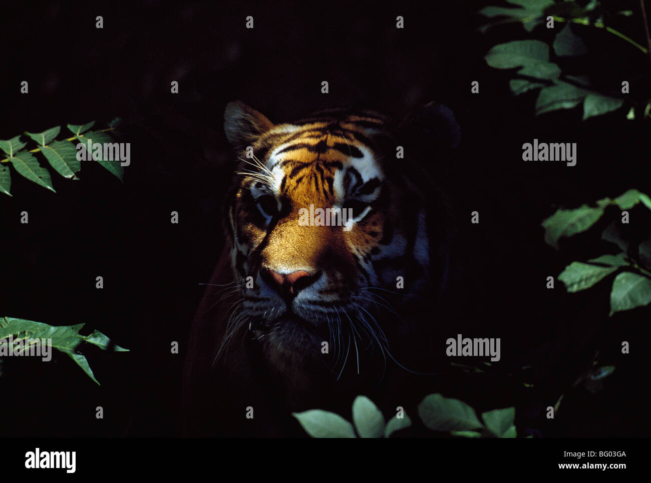 Siberian tiger (Panthera tigris altaica) peers from forest shadows - Stock Image