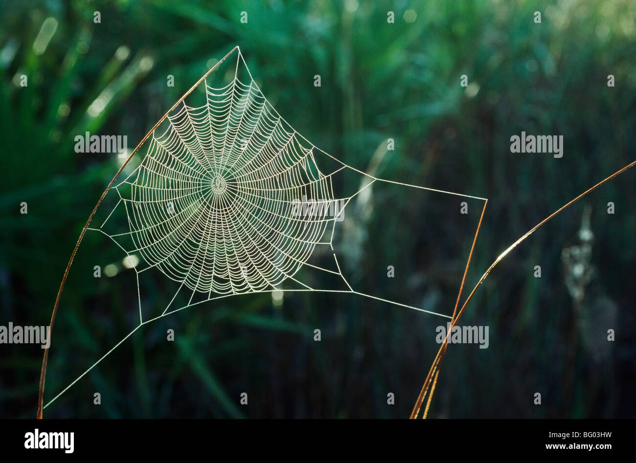 Orb web covered with dew, New Mexico, USA - Stock Image