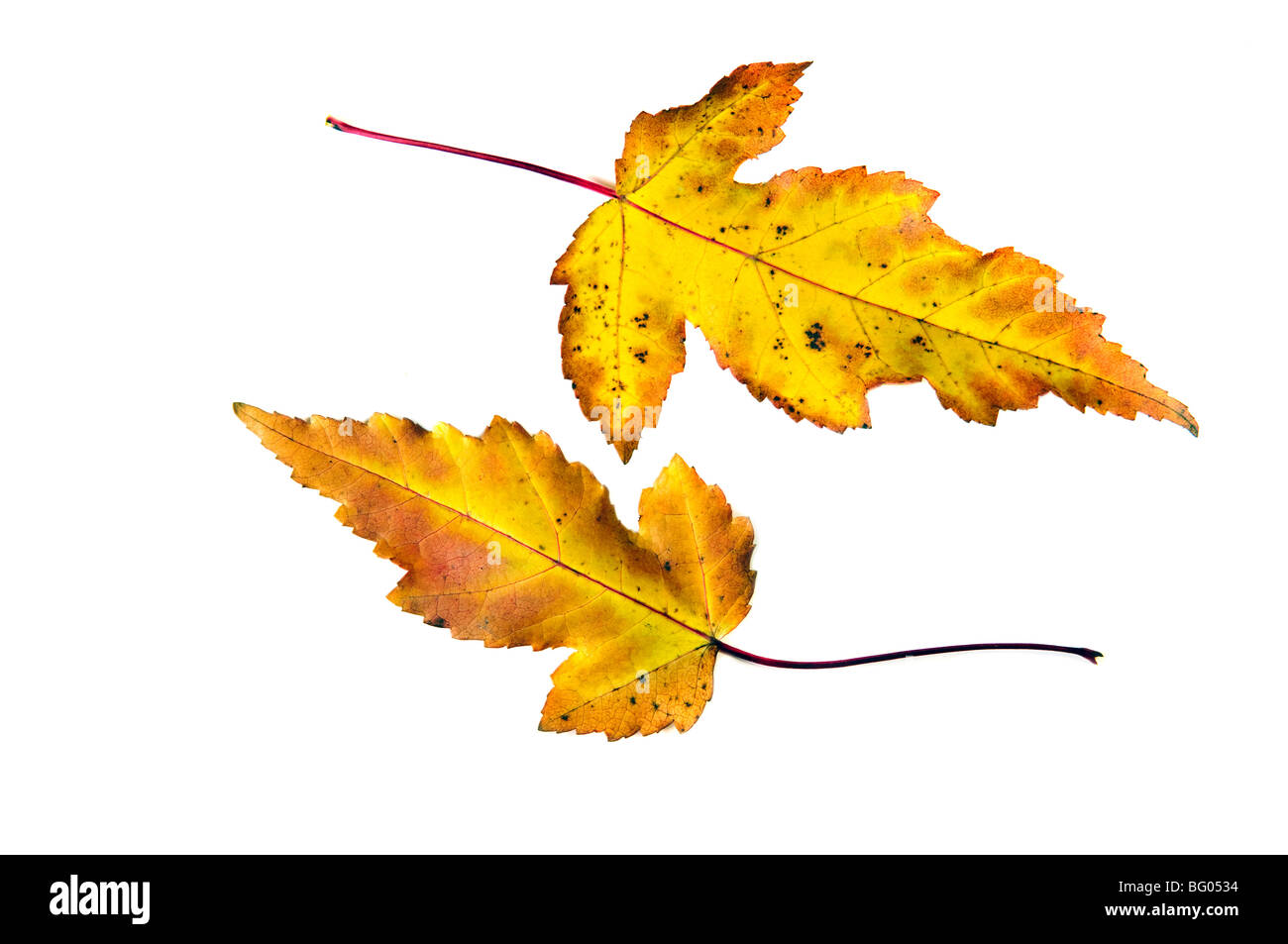Fall autumn leaves on white - Stock Image