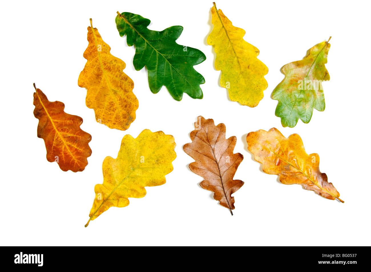 Colored fall autumn oak leaves - Stock Image