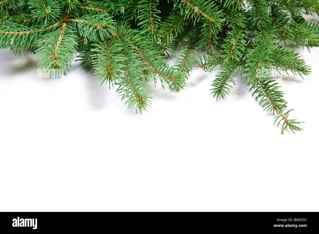 fir tree branch on white - Stock Image