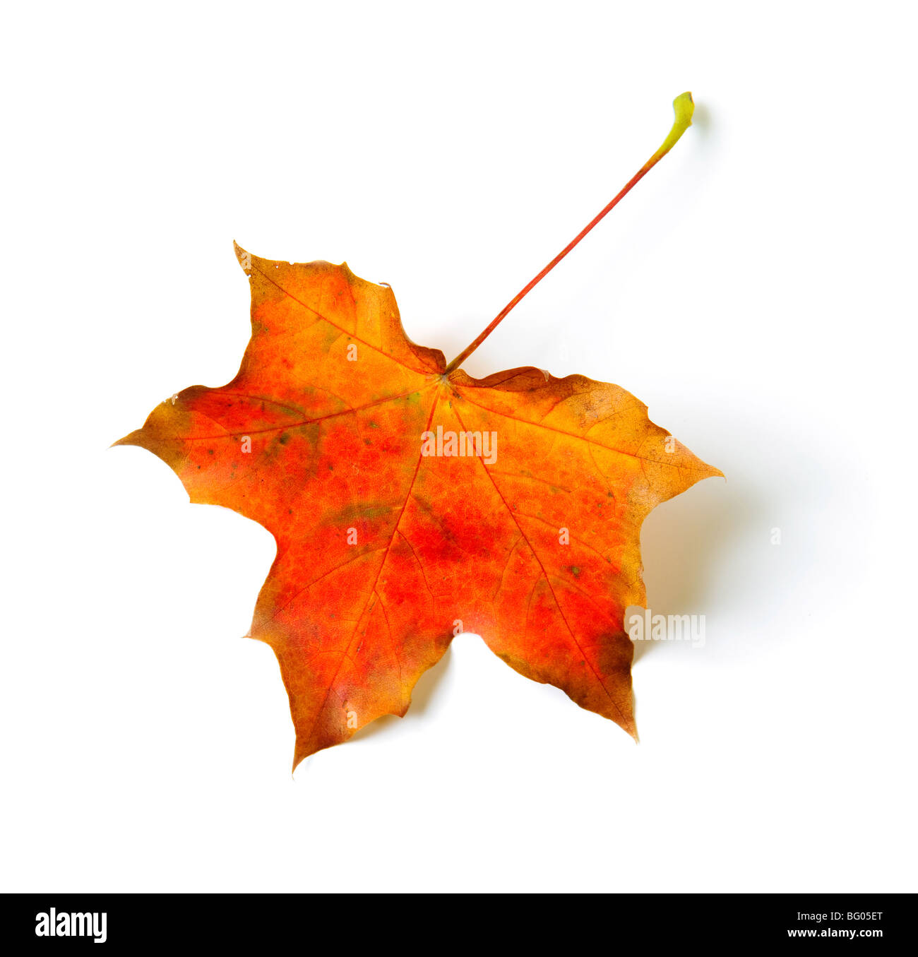 One autumn colored maple leaf isolated on white - Stock Image