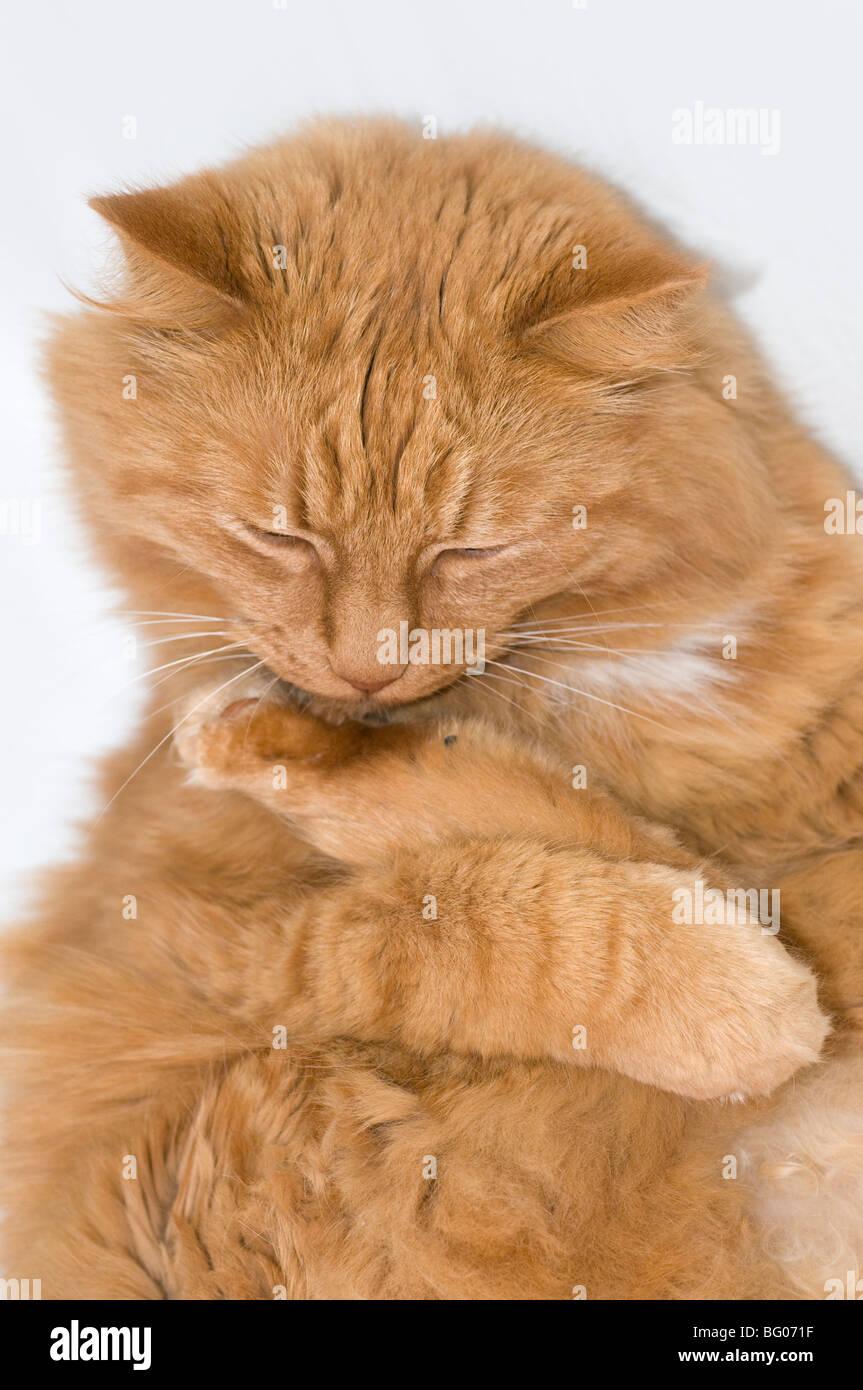 Big red cat washing up. - Stock Image
