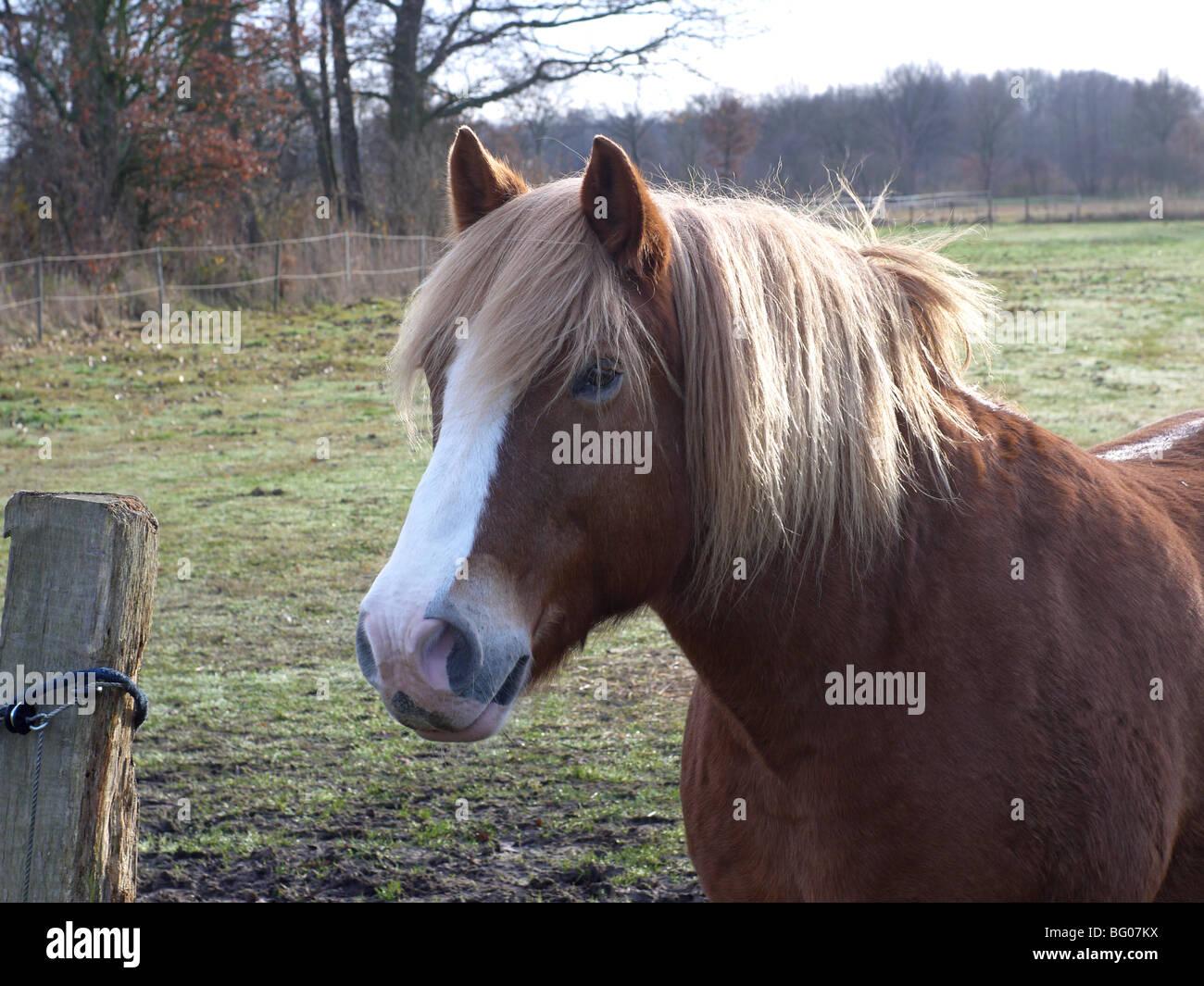 Jona, a Noriker gelding on a pasture in Barum, Elbmarsch, Germany. - Stock Image