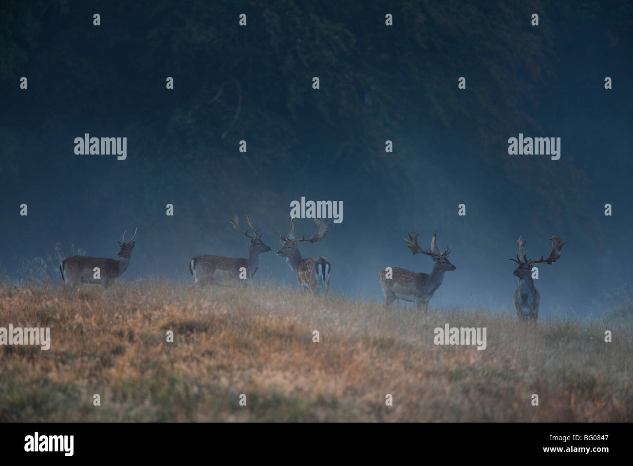 Fallow Deer (Dama dama), stags in early morning mist. - Stock Image