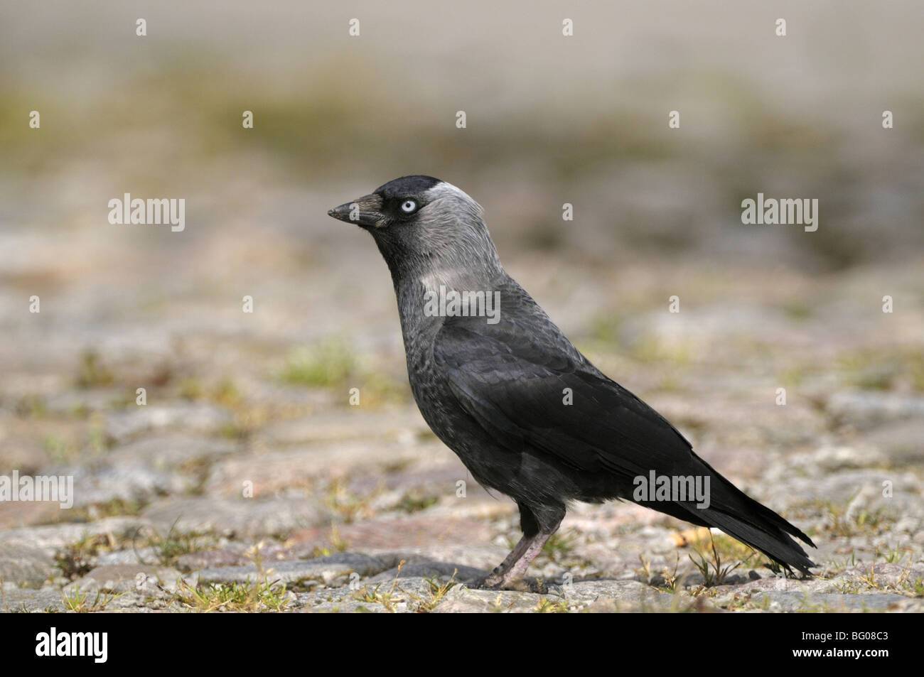 Jackdaw (Corvus monedula) standing on cobblestone pavement. - Stock Image