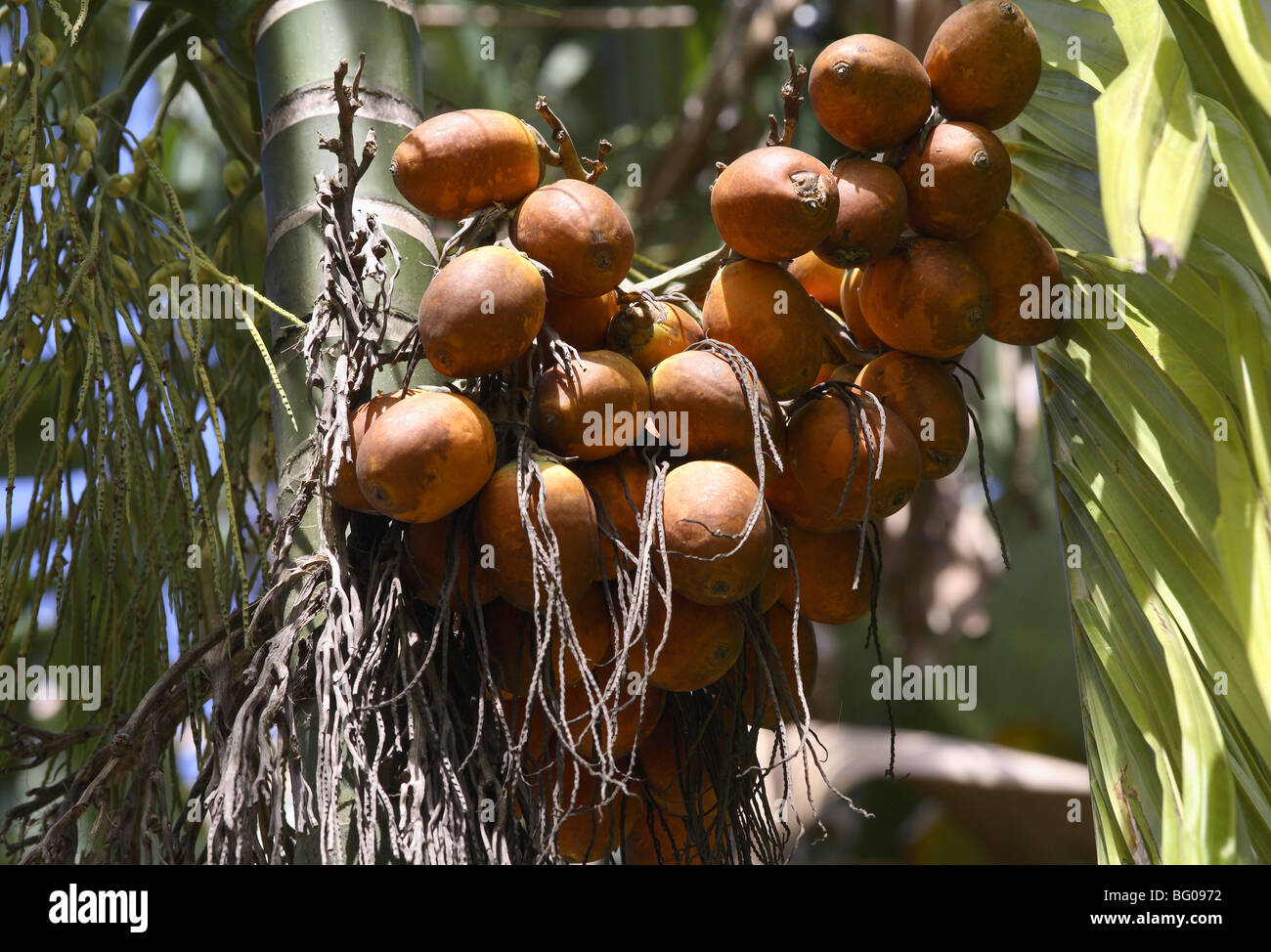 Betel nut, reported to be anti-parasitic, laxative, it also increases heart rate and blood pressure, India - Stock Image