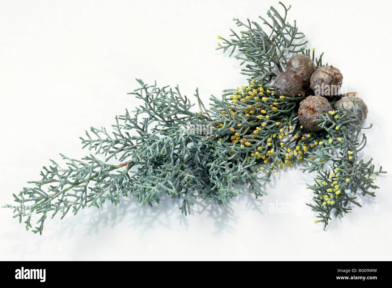Mediterranean Cypress, Italian Cypress (Cupressus sempervirens), twig with cones, studio picture. - Stock Image