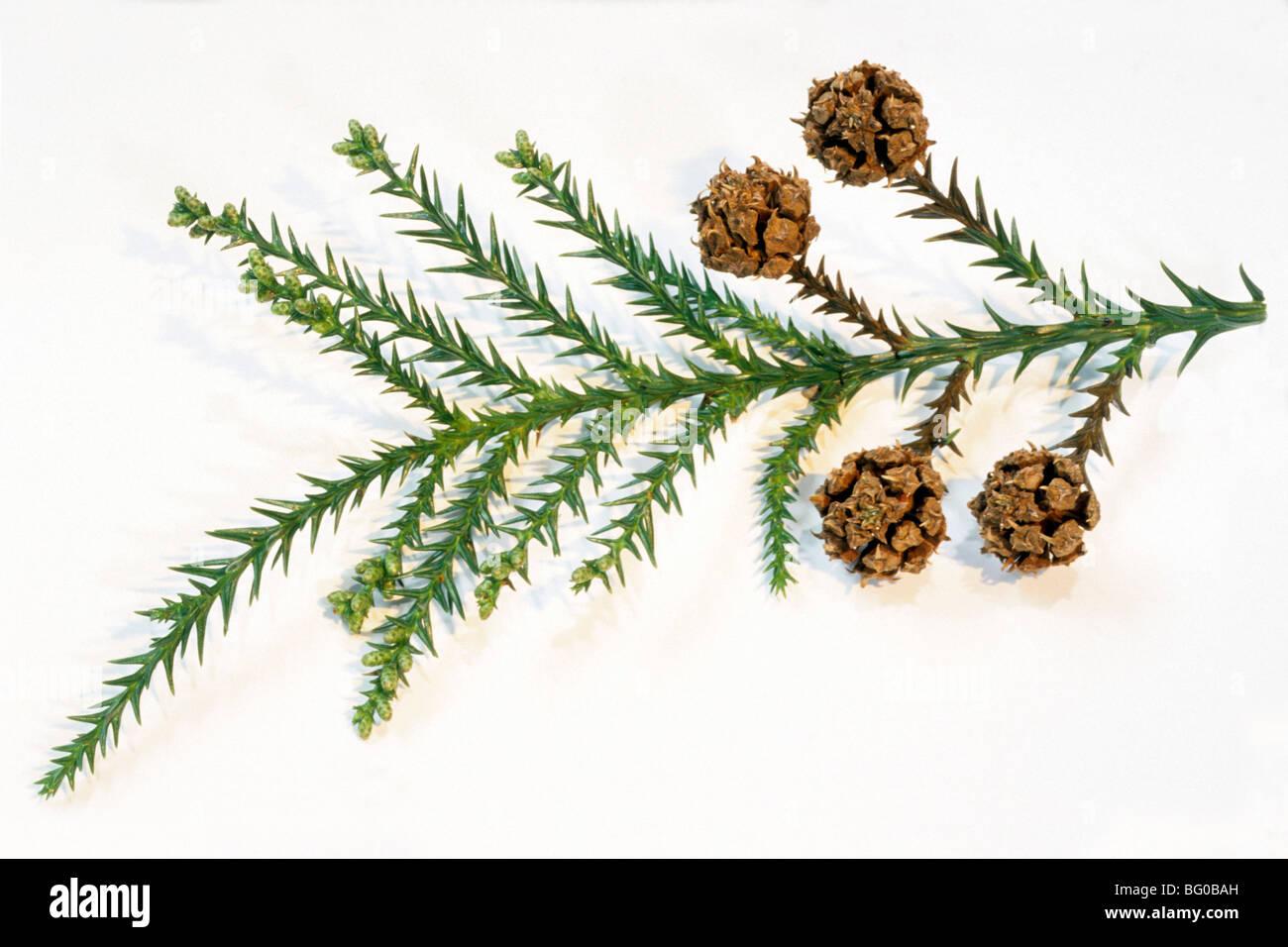 Japanese Cedar (Cryptomeria japonica), twig with cones. - Stock Image
