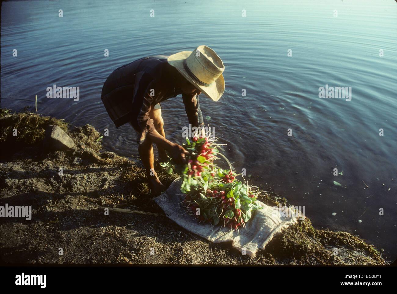 A farmer washes radishes in Lake Atitlan, near Santiago Atitlan, Guatemala - Stock Image