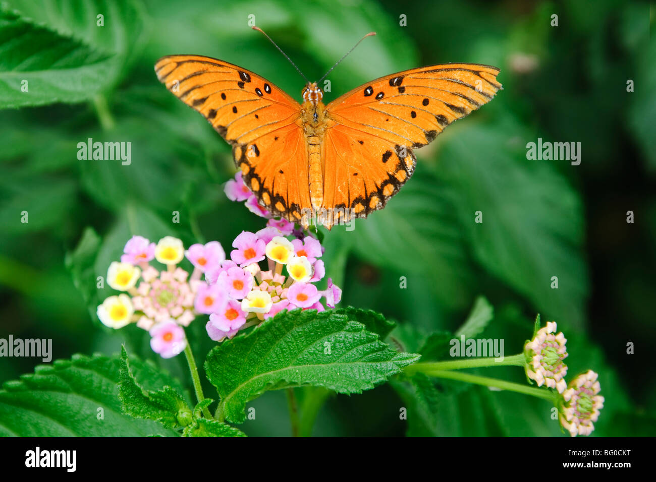 Gulf Fritillary butterfly feeding on flowers nectar. - Stock Image