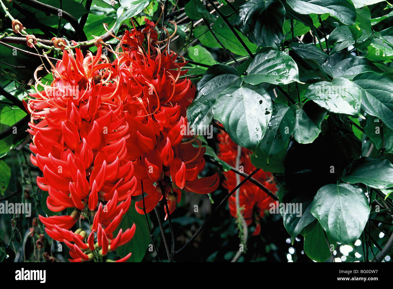 New Guinea Creeper - Stock Image