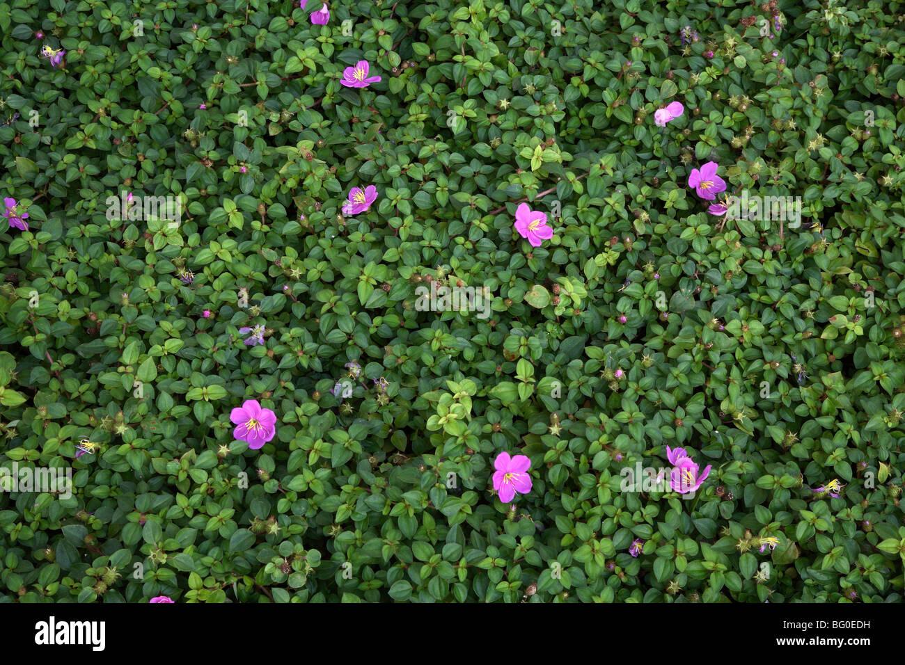 Melastoma malabathricum (Indian rhododendron), used in Ayurvedic medicine in India, Asia - Stock Image