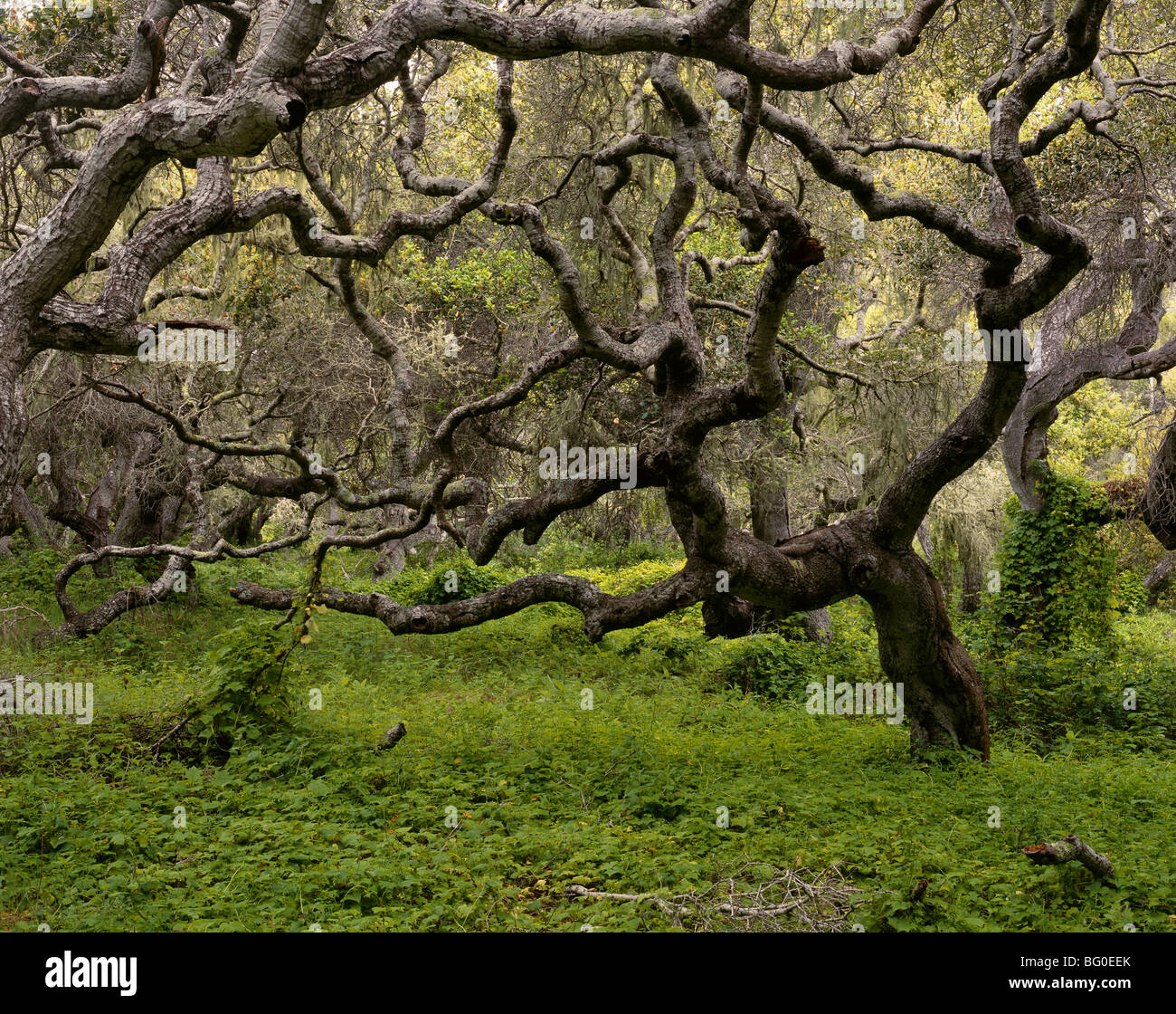 CALIFORNIA - Coast Live Oaks in Los Osos Oaks State Reserve near Morro Bay. - Stock Image