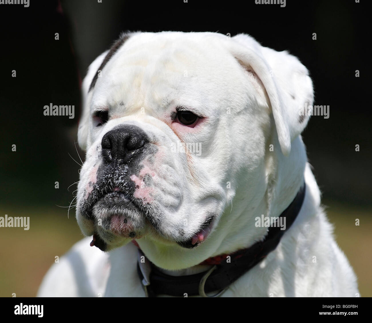 Pit Bull Dog Fight Stock Photos & Pit Bull Dog Fight Stock Images