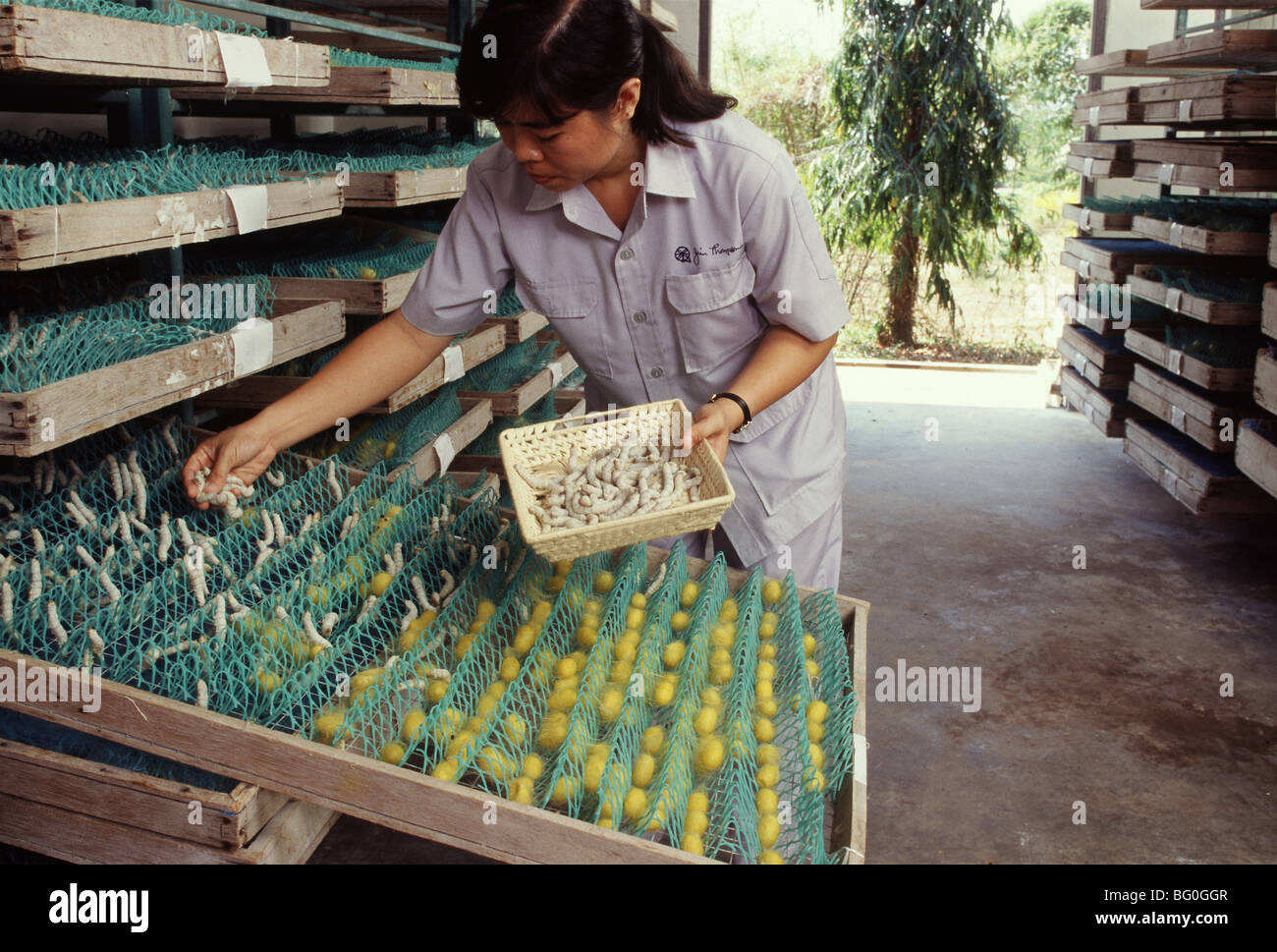 Silkworms at Jim Thomson Silk Factory in Korat, Thailand, Southeast Asia, Asia - Stock Image