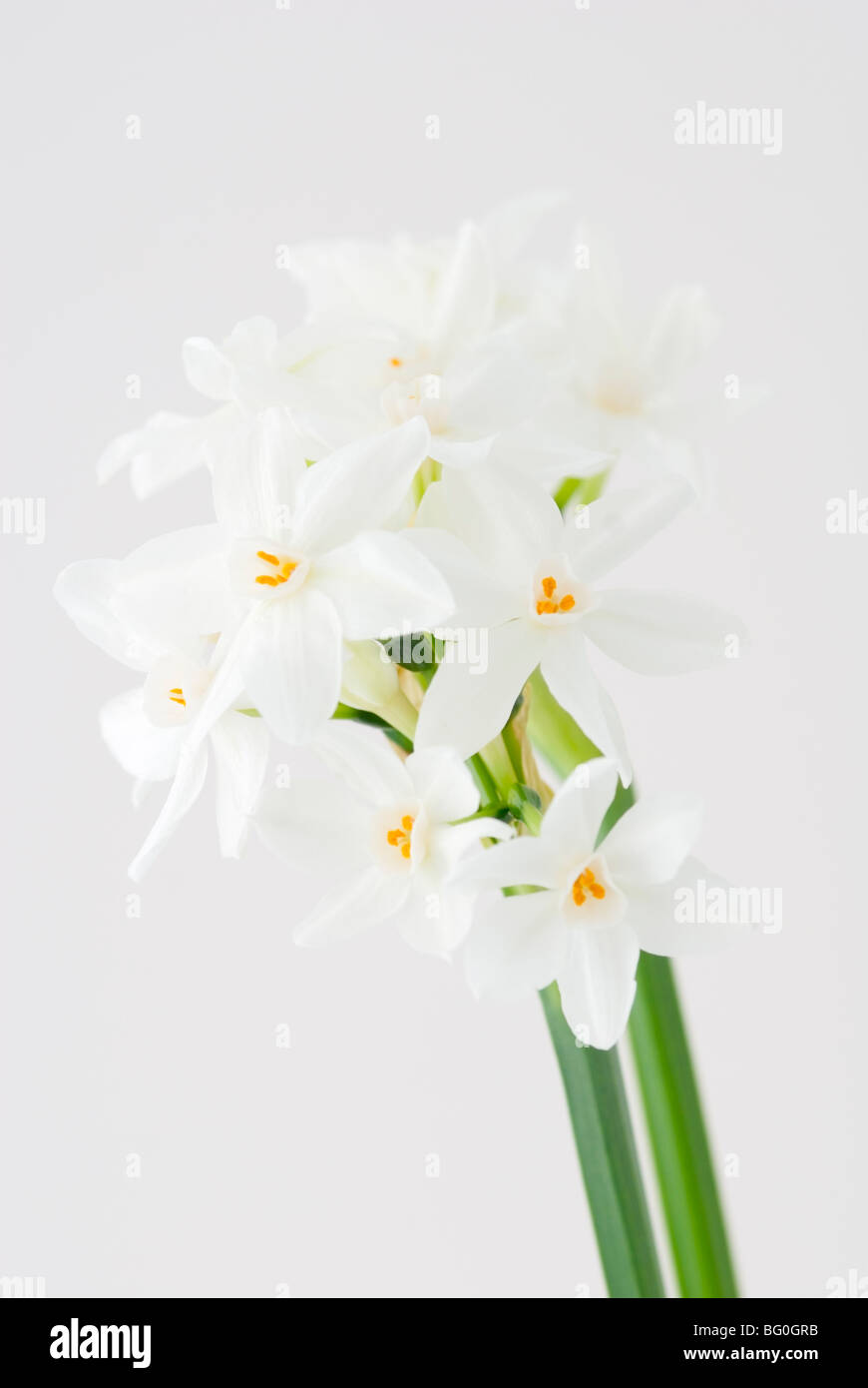 Paper white narcissus stock photos paper white narcissus stock narcissus papyraceus paper white narcissus stock image mightylinksfo
