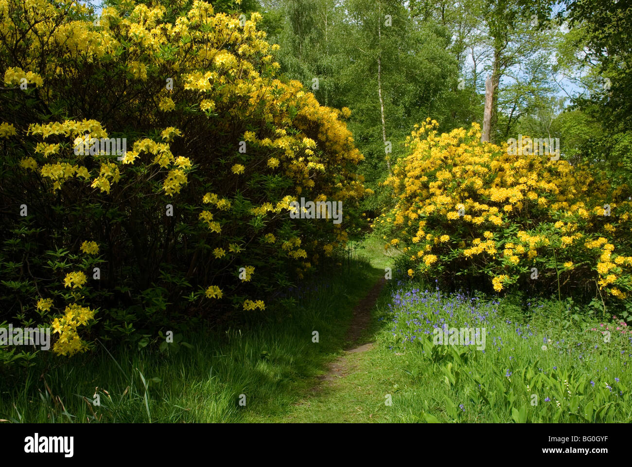 RHODODENDRON LUTEUM - Stock Image