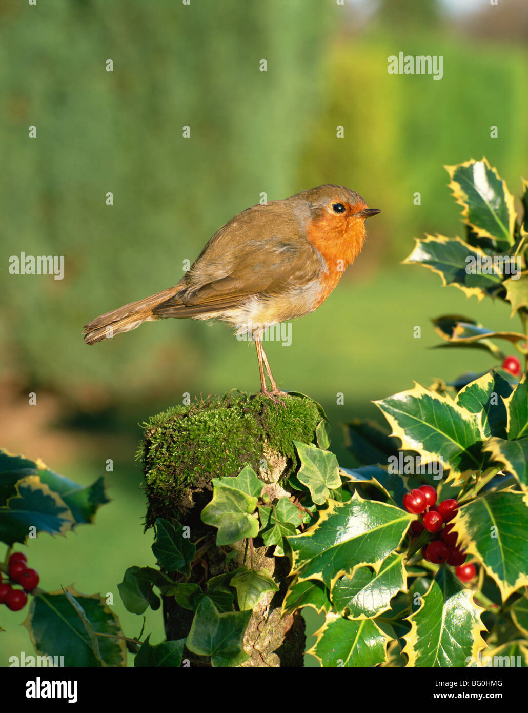 Robin (Erithacus rubecula) perching on post near holly - Stock Image
