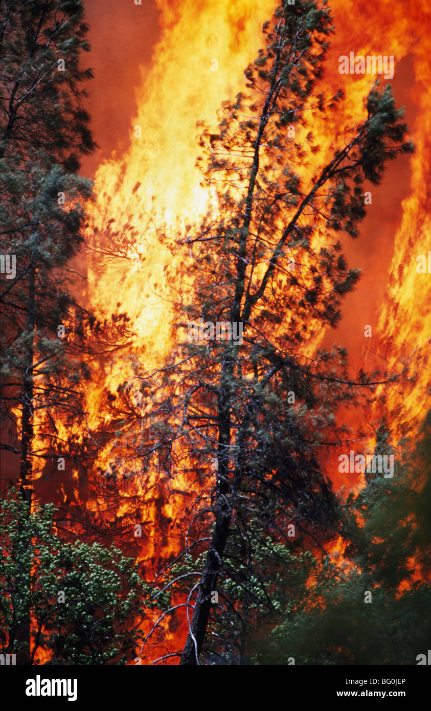 Huge flames from wildfire, Shasta-Trinity National Forest, California, USA - Stock Image