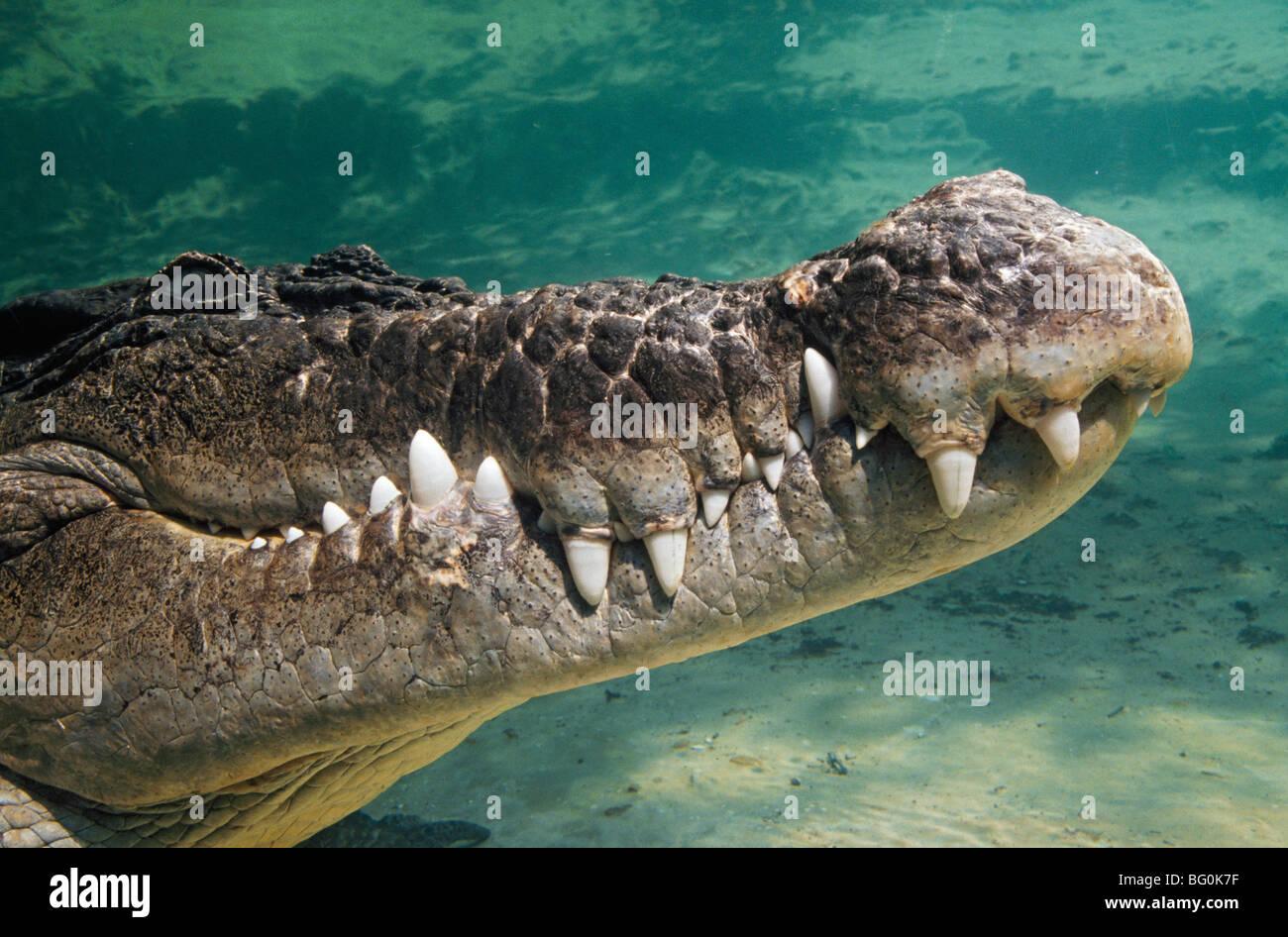 Close-up of saltwater crocodile underwater - Stock Image