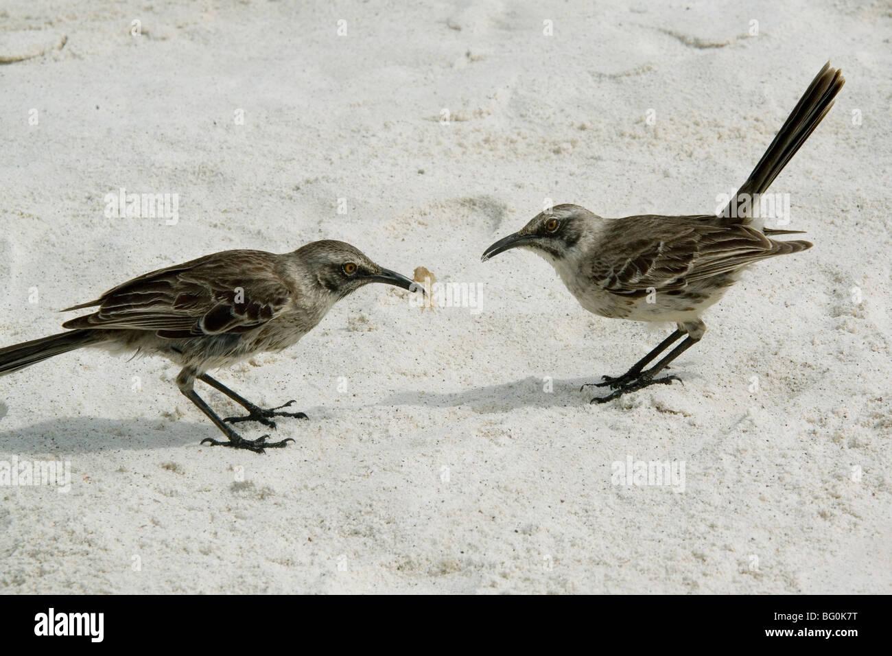Mocking birds, Espanola Island, Galapagos, Ecudaor, South America - Stock Image