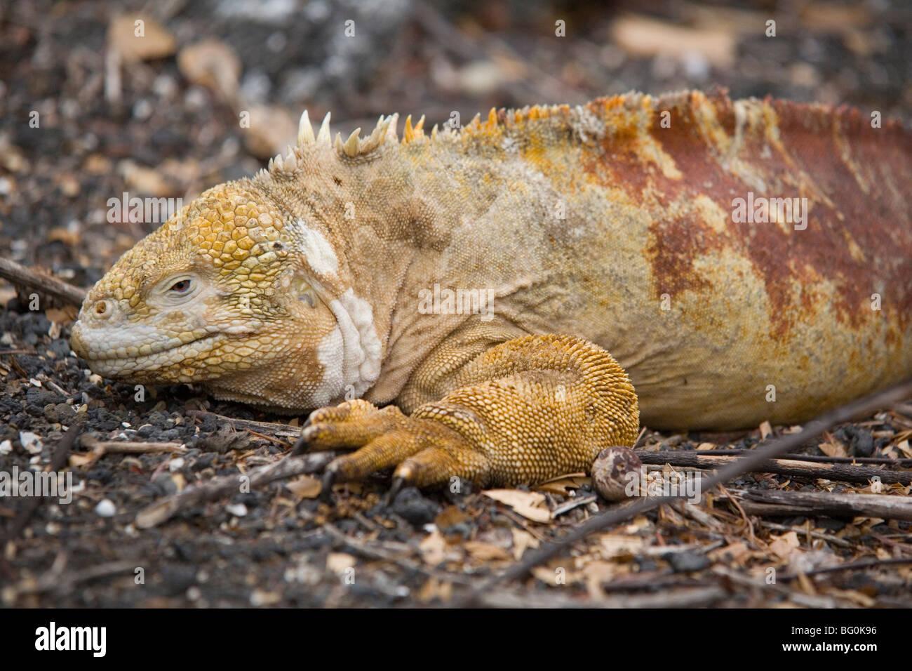 Land iguana, Isabela Island, Galapagos, Ecuador, South America - Stock Image