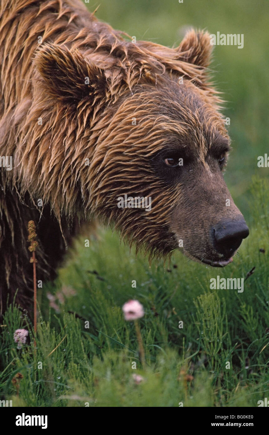 Grizzly bear wet from rain - Stock Image