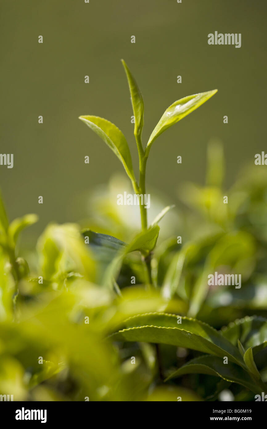 Tea leaves, top two leaves and bud used for First Flush teas, Happy Valley Tea Estate, Darjeeling, West Bengal, Stock Photo