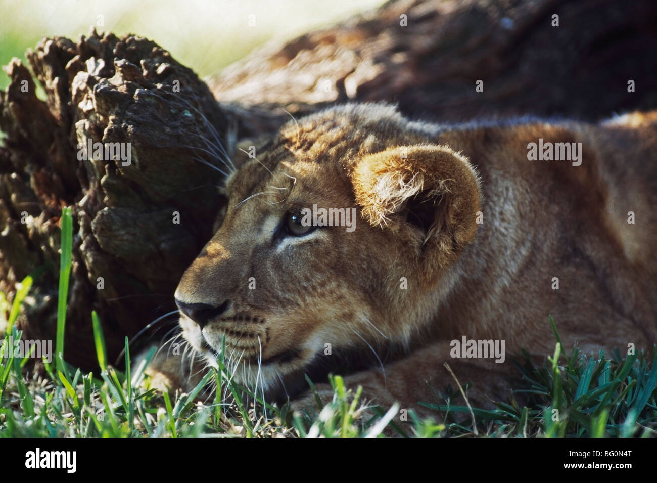 Lion cub crouching behind log, Africa - Stock Image