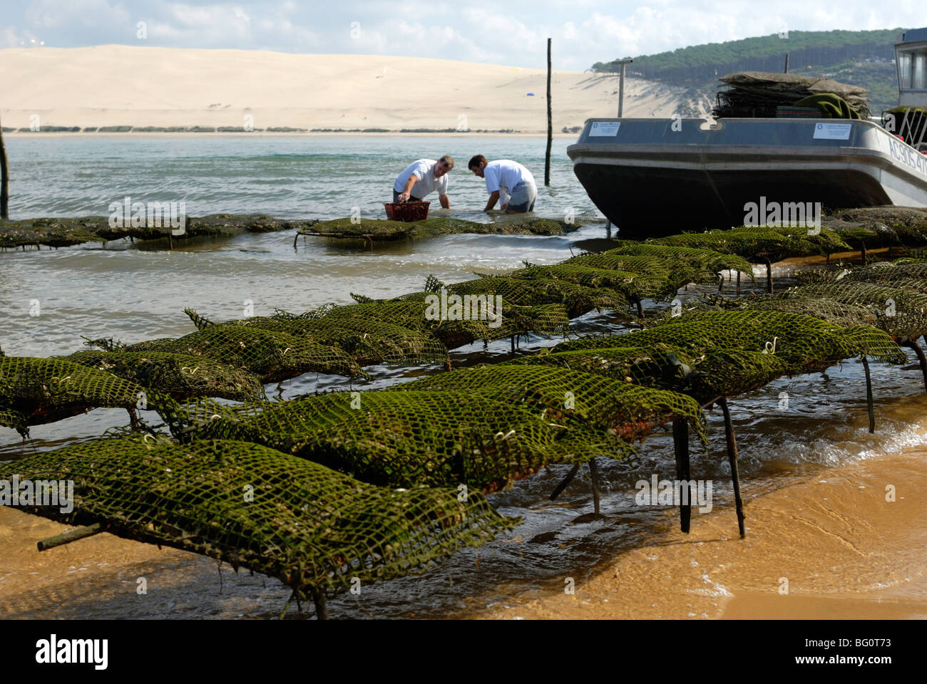 Oyster fishermen grading oysters with the Dune du Pyla in the background, Bay of Arcachon, Gironde, Aquitaine, France, - Stock Image
