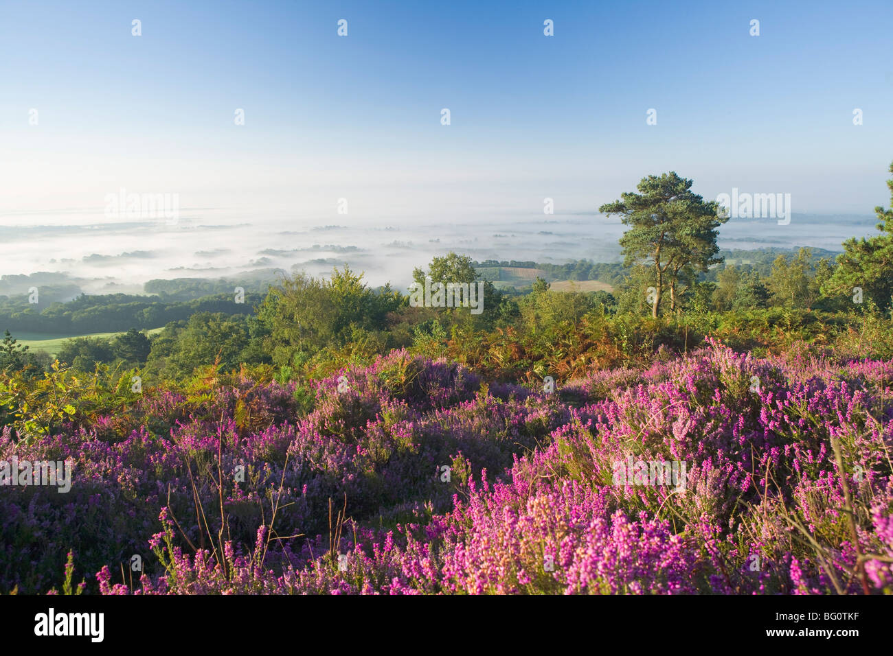 Heather on misty summer morning, view from Leith Hill, North Downs, Surrey Hills, Surrey, England, United Kingdom, - Stock Image