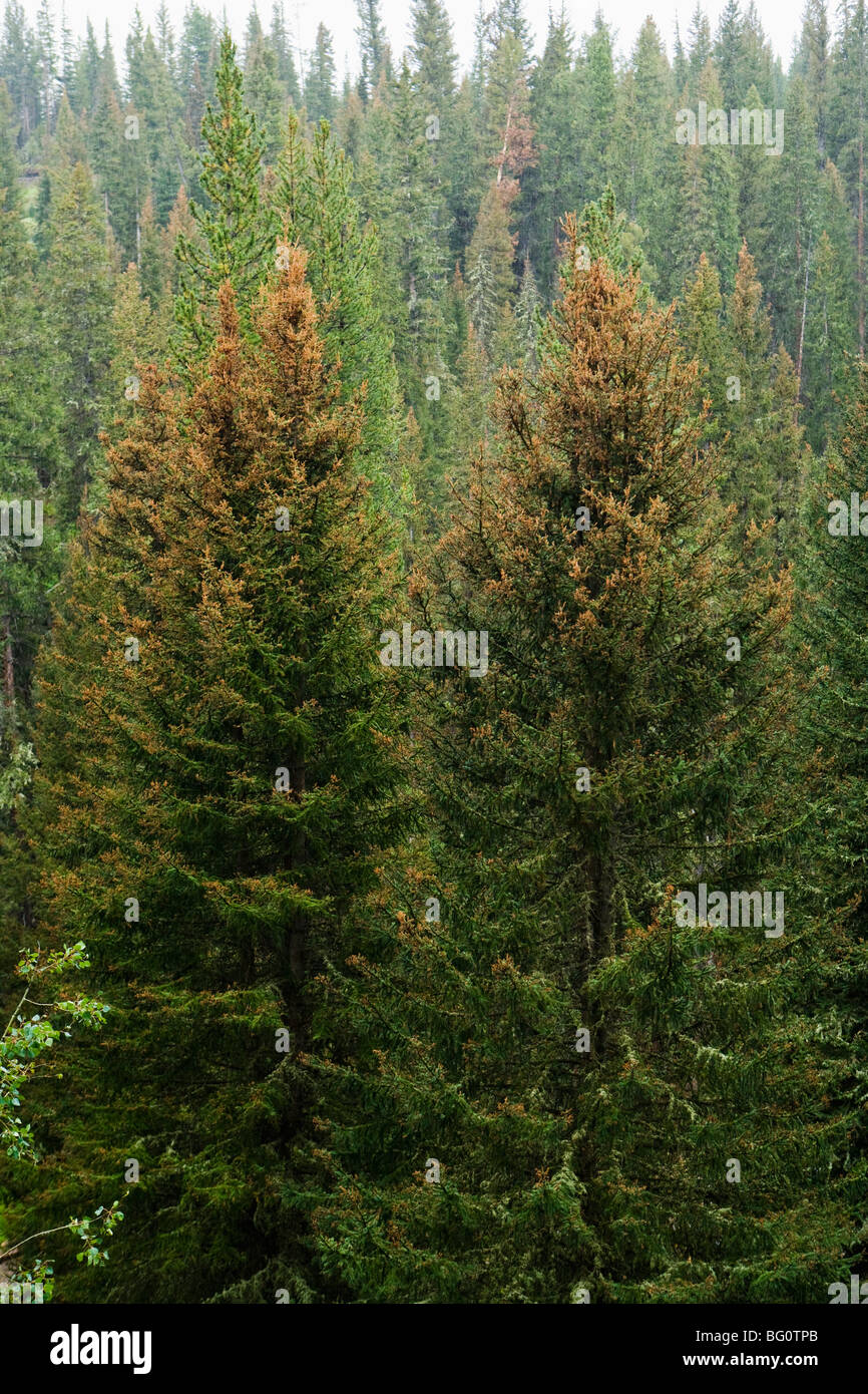 A conifer forest in Southwestern Montana showing the damage caused by Mountain Pine Beetles and climate change. - Stock Image